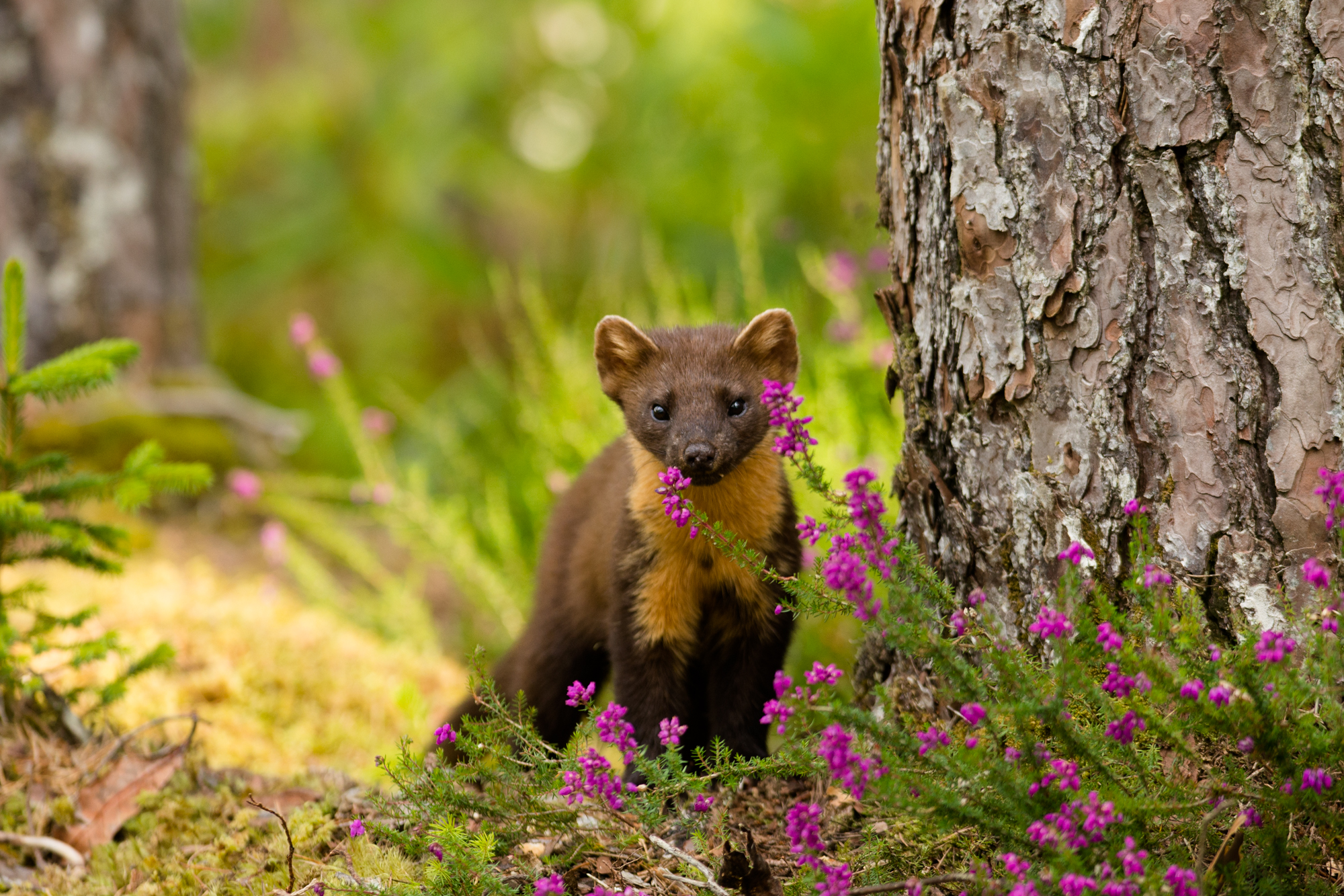 Pine Marten (Martes martes) in Scotts pine forest West highlands Stewart Dawber (2)