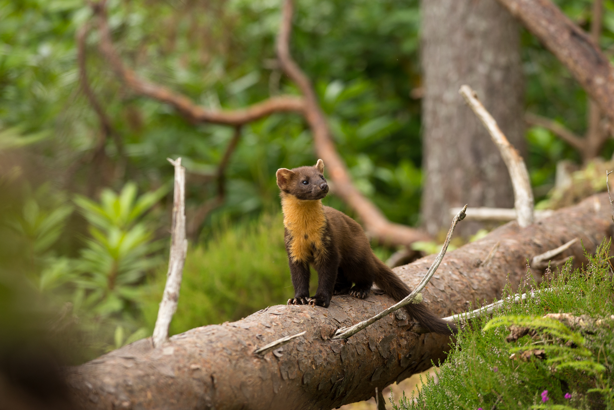 Pine Marten in Scotts Pine woodland Stewart Dawber